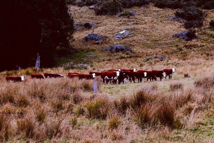 Cows Cows Domestic Animals Animal Themes Mammal Nature Day Outdoors Livestock