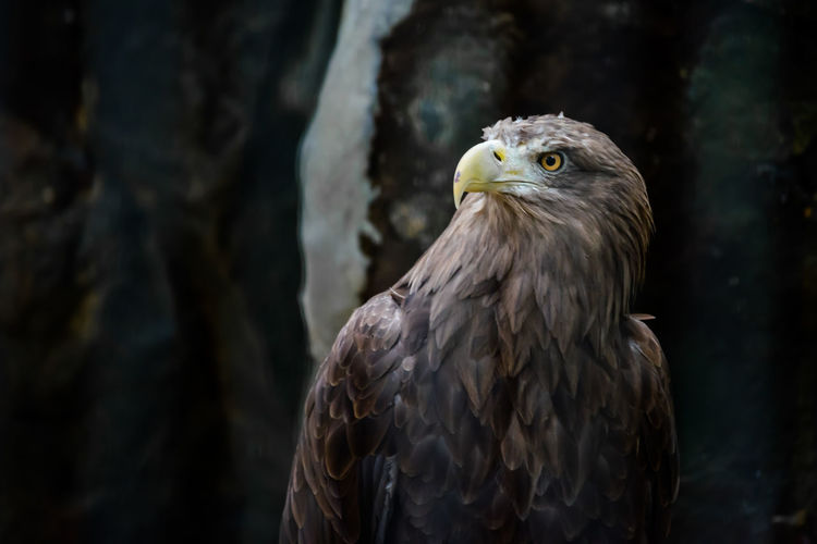 Animal Themes Animal Wildlife Animals In The Wild Bald Eagle Beak Bird Bird Of Prey Close-up Day Eagle - Bird Focus On Foreground Nature No People One Animal Outdoors