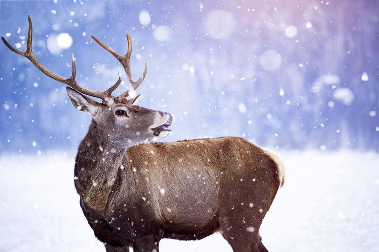 Reindeer standing outdoors during winter