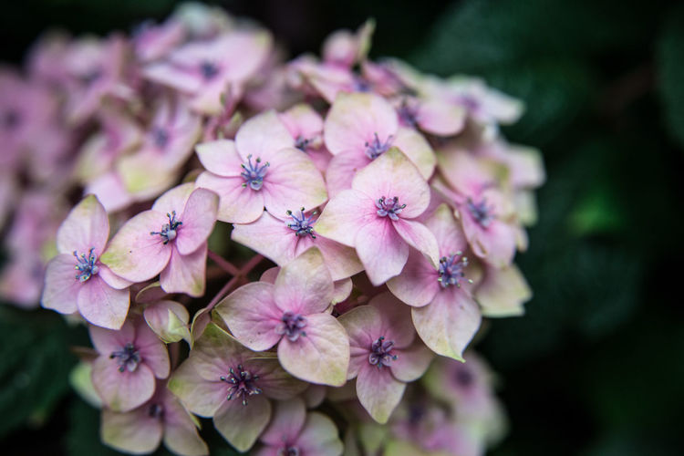 Buds Green Hydrangea Nature Plant Abundance Of Flowers Blooming City Decoration Flower Head Leaves Outdoors Park Petals Pink Color Summer Yellowish