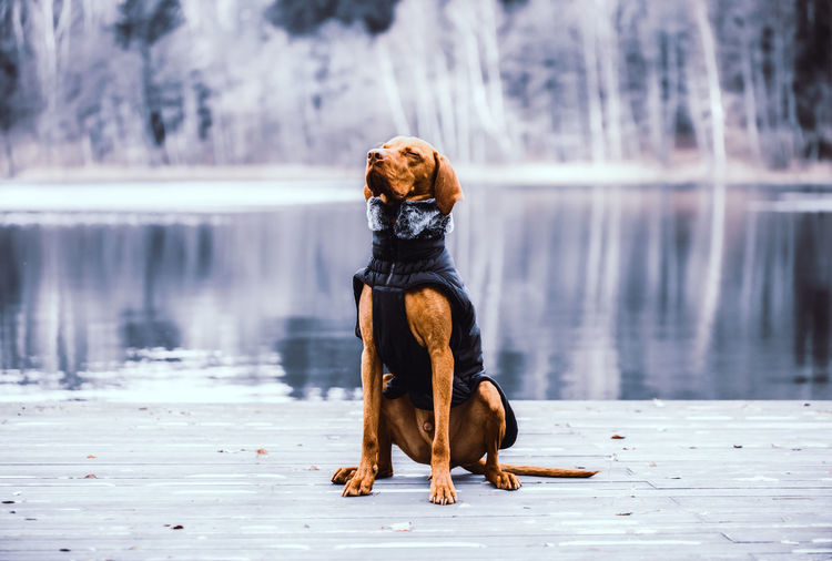 Dog looking away while sitting on lake