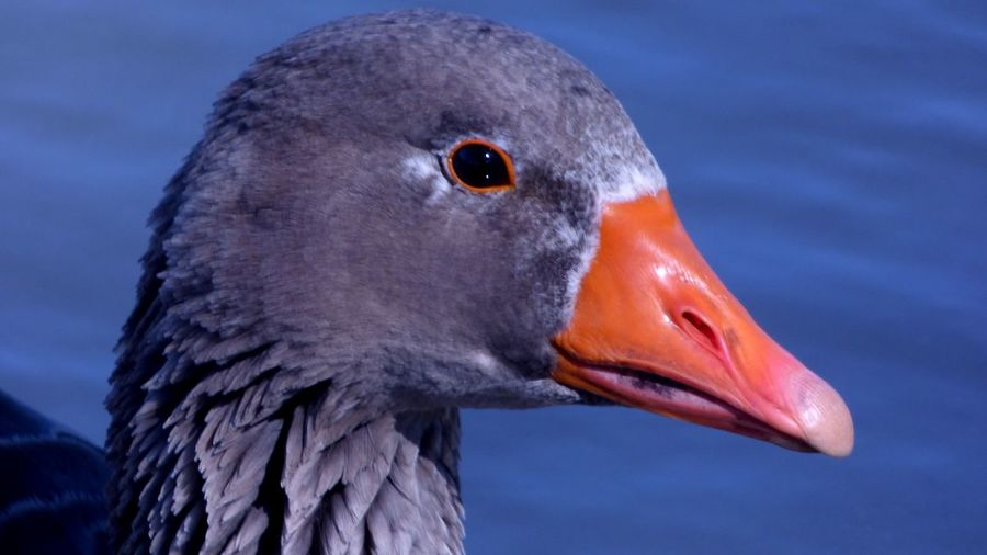 Ganso Close-up Bird Ganso Animal Bird Close-up Goose Animal Head  Nature Water Water Bird Beak Vertebrate