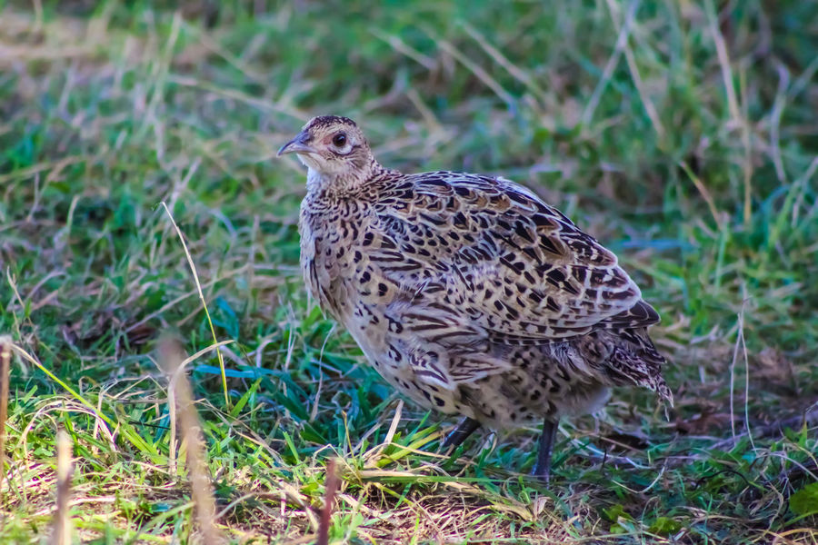 Animal Themes Animal Wildlife Animals In The Wild Bird Close-up Day Female Pheasant Full Length Grass Nature No People One Animal Outdoors Perching Spotted