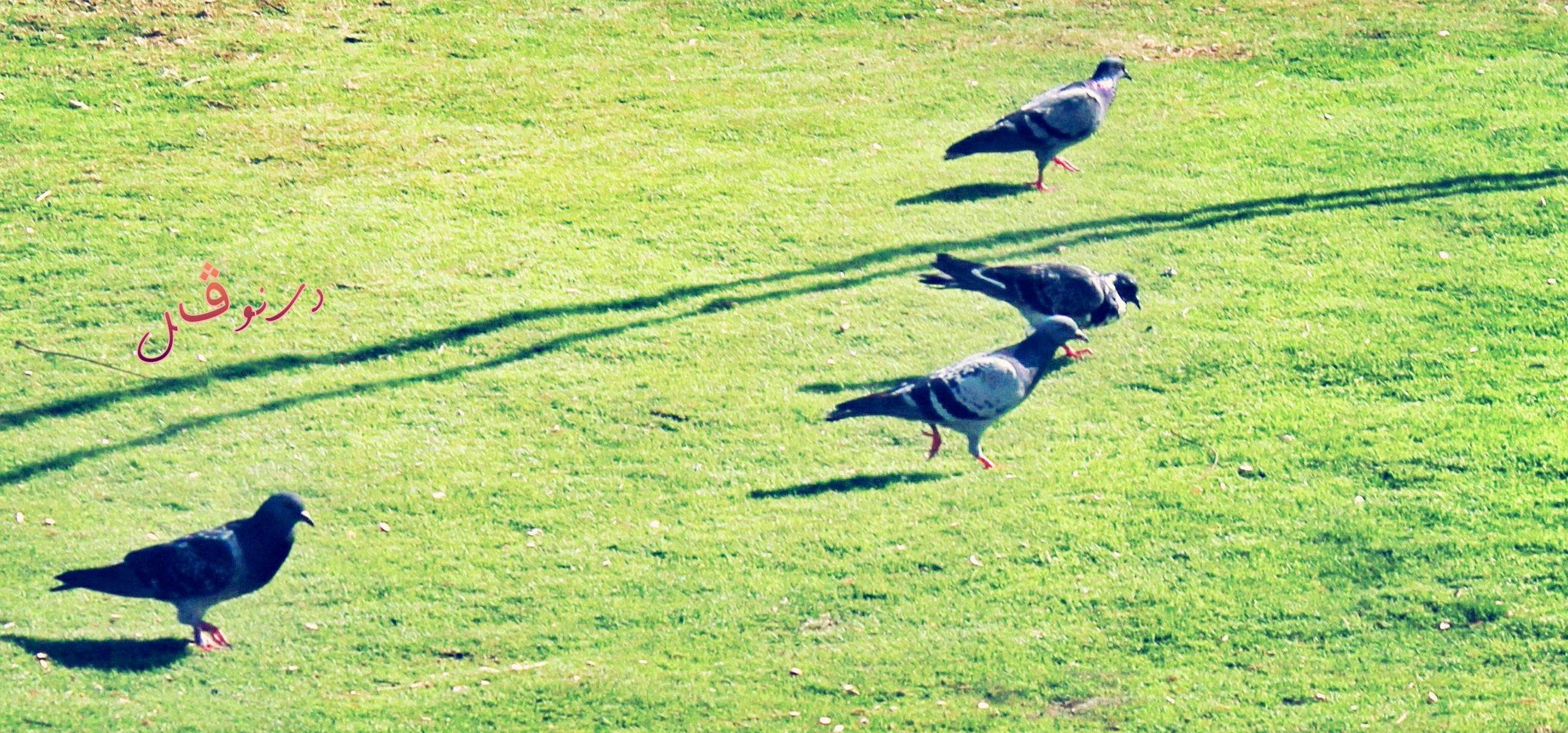 bird, animal themes, grass, animals in the wild, field, wildlife, spread wings, flying, green color, two animals, full length, nature, mid-air, three animals, landscape, no people, sunlight, grassy, beauty in nature, outdoors