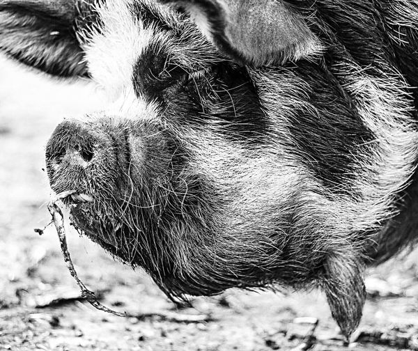 Animal Themes Domestic Animals Mammal Close-up No People One Animal Livestock Day Outdoors Nature Pig Swine Pork Porkchop Animal Livestock