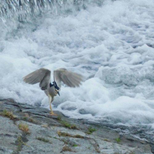 Herons Birds Riverside Flappy Bird 五位鷺 星五位