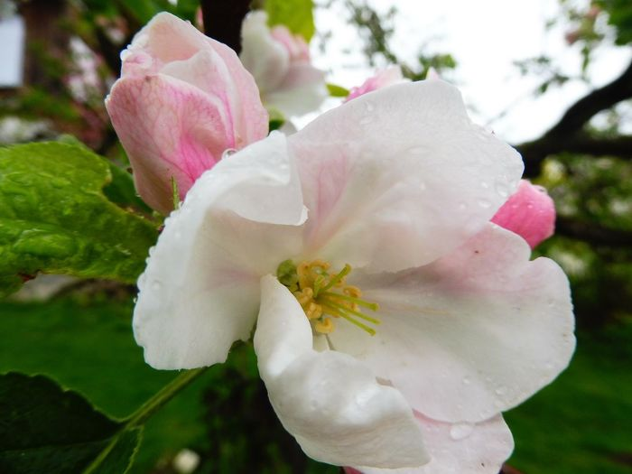 Apple Apple Blossom Beauty In Nature Blooming Close-up Day Drop Flower Flower Head Fragility Freshness Growth Nature No People Outdoors Pink Color Plant Water