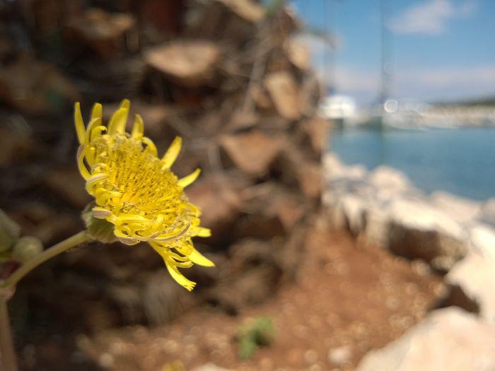 Dalmacija blends Beauty In Nature Brown Close-up Dalmacija Dandelion Day Hrvatska Ljeto Macro Maslačak Nature Outdoors Smeđe Summer Tranquility Yellow žuto