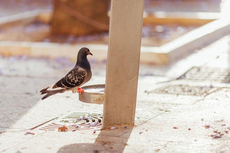 Close-Up Of Pigeon On Bird Bath