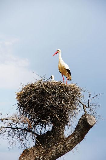 White stork and baby on a nest Animal Animal Nest Animal Themes Animal Wildlife Animals In The Wild Bird Branch Nature Sky Stork