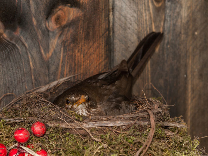 Bird Nest Bird Photography Close-up Merle Nature New Life New Life Begins One Animal Pets