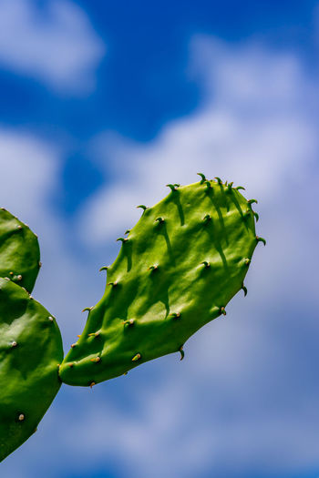 Close-up of cultivated cactuses against blue cloudy sky and white clouds Cactus The Traveler - 2018 EyeEm Awards Beauty In Nature Blue Bud Close-up Cloud - Sky Day Flower Focus On Foreground Freshness Green Color Growth Leaf Nature No People Outdoors Plant Plant Part Selective Focus Sepal Sky Tranquility