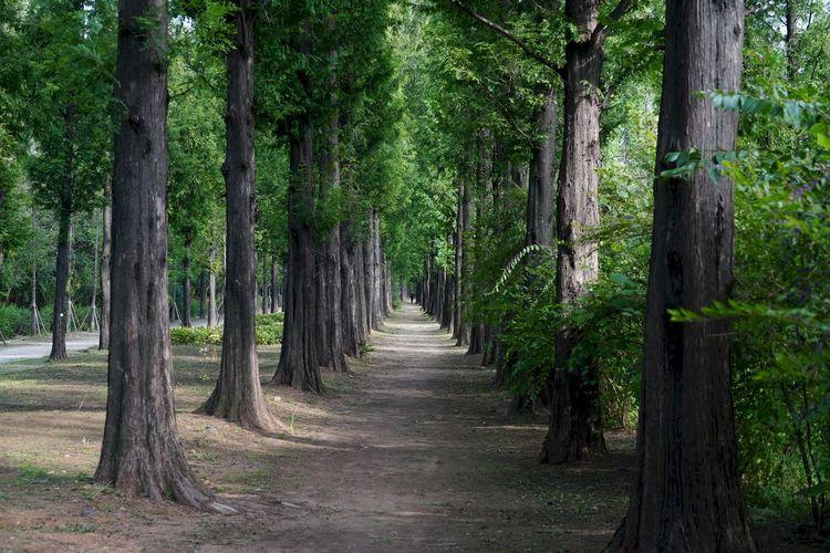 상암동 하늘공원 메타세콰이어