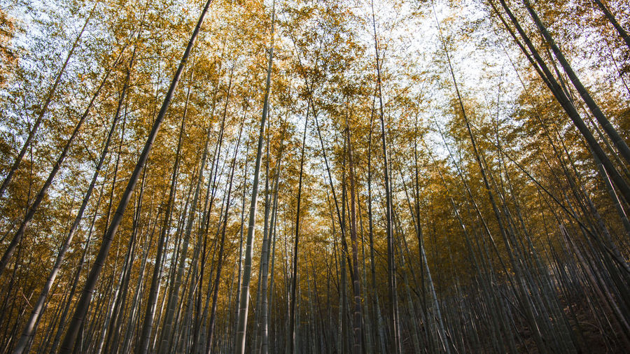 yellow leaf in the summer Nature Beauty In Nature Forest Tree Growth No People Full Frame Day Outdoors Bamboo Grove Branch Sky Low Angle View