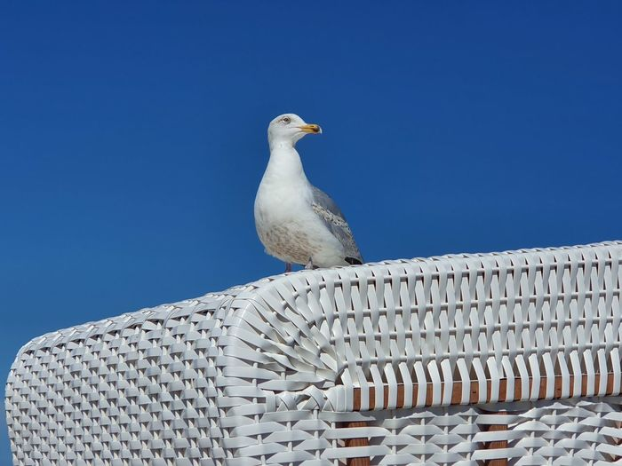 Low angle view of seagull against clear blue sky