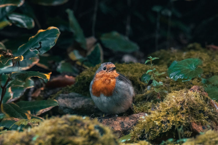 Close-up of a robin perching on plant