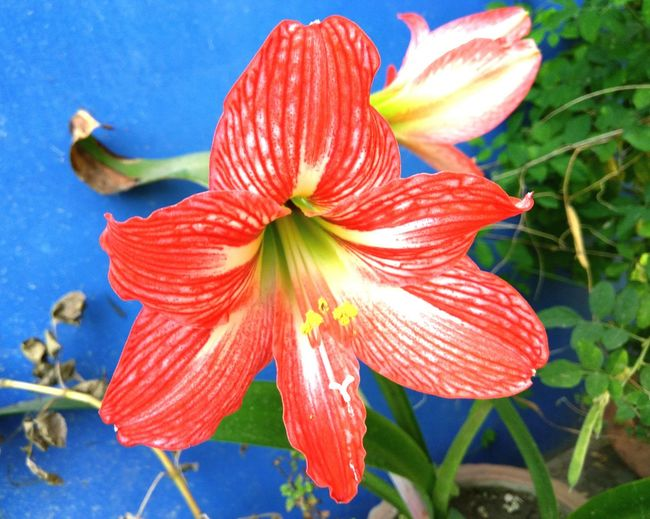 Lily.. my favorite flower. Flower Fragility Petal Flower Head Nature Beauty In Nature Plant Close-up Freshness No People Water Growth Outdoors Day Lily Day