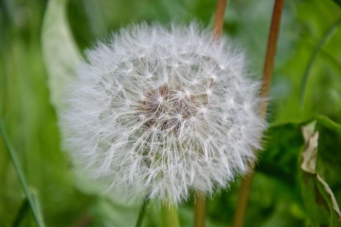 Summertime Beauty In Nature Close-up Dandelion Dandelion Seed Day Flower Flower Head Flowering Plant Focus On Foreground Fragility Freshness Growth Inflorescence Nature No People Outdoors Plant Softness Springtime Vulnerability  White Color