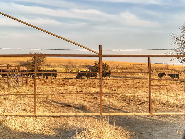 Cattle Social Gathering EyeEm Selects Rural Scene Nature Cows Cattle Ranch Field Unedited
