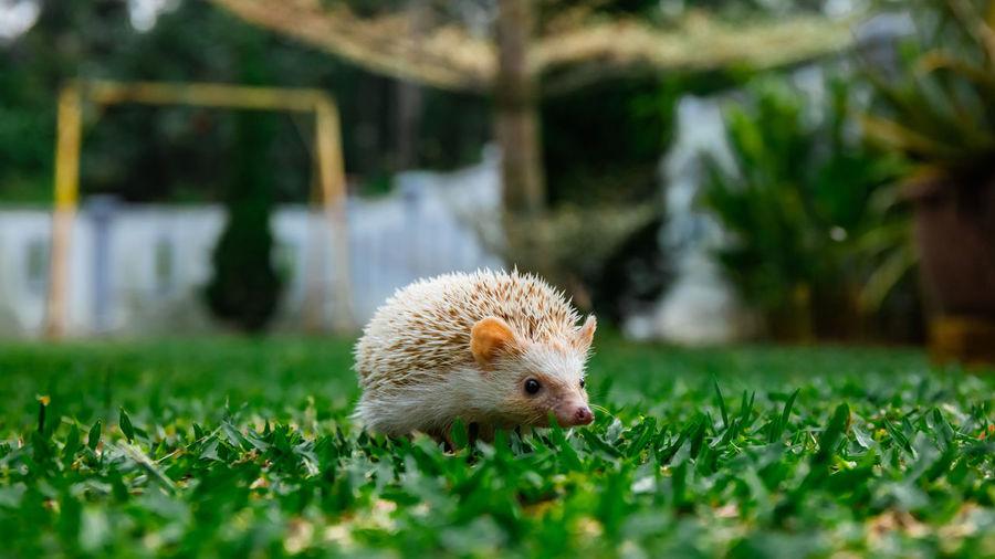 Hedgehog on field