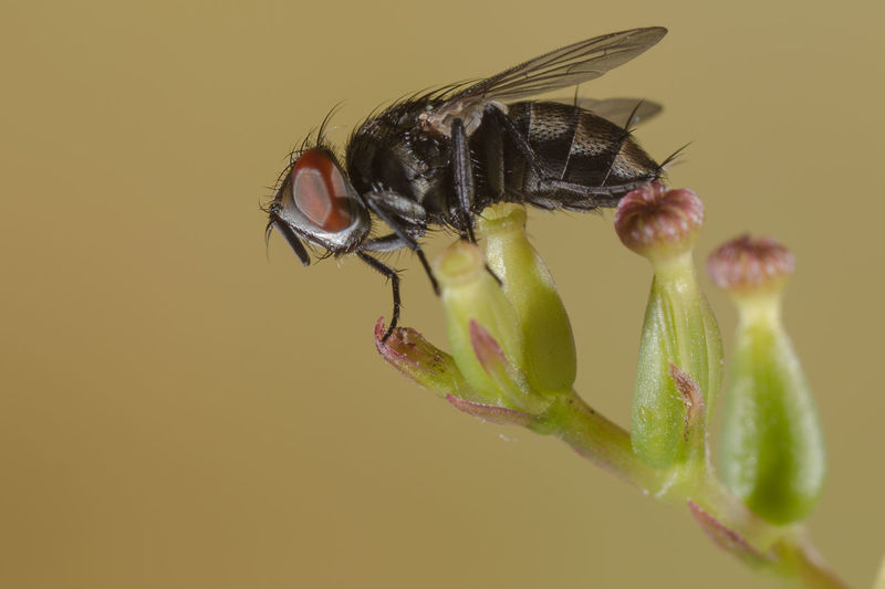 Close-up of housefly pollinating on flower bud against brown background