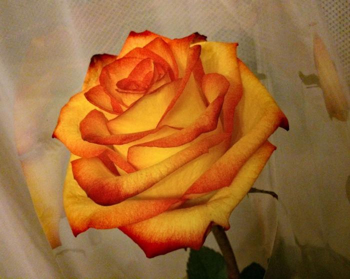 The bi-yellow rose, burnt orange, yellow rose tipped in red. Bi-Yellow Rose Bright Yellow Burnt Orange Burnt Orange Rose Close-up Flower Orange Orange Tipped Red Tipped Rose🌹 Yellow Yellow Rose