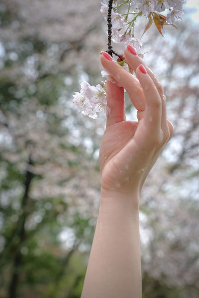 Cherry Blossoms Eye4photography  EyeEm Best Shots FUJIFILM X-T1 Holding Human Finger In The Woods Person Pink Flowers Raindrops Rainy Day Thanks My Friend Tree しずく 森林公園 Showcase April