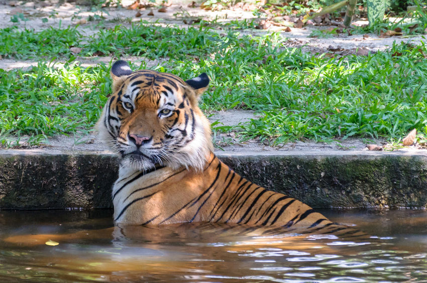 Sumatran tiger cooling off against mid day heat in pool Animal Themes Animals In The Wild Close-up Day Mammal Nature No People One Animal Outdoors Portrait Swimming Pool Tiger Water Waterfront Zoo Zoo Animals  Zoo Negara Malaysia Zoophotography