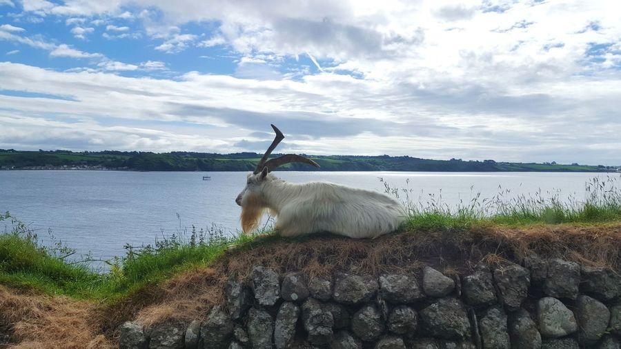 Sheep on a lake