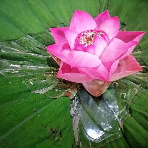 Pink Lotus Thailand Background Nature Nature Photography Nature Beauty Pink Background Pink Color Pink Flower Lotus Flower Lotus Thai Flower Head Flower Water Pink Color Leaf Petal Close-up Green Color Lotus Lotus Water Lily Water Plant
