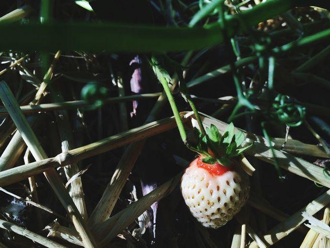 Stroberry Fruit Picking Picking Berries Fresh Unripe Unripe Strawberries Fruit Sour