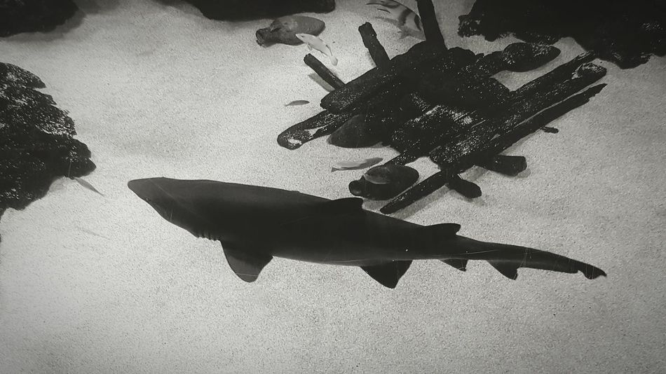 Shark Sharktank SHARK!!! Aquarium Underwater Black And White Photography Check This Out!