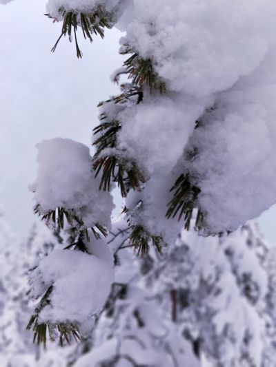 EyeEm Selects Snow Winter Tree Cold Temperature Pinaceae Mountain Forest Nature Pine Tree Frozen Environment Outdoors Wilderness Snowing Landscape No People