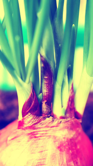 Onion plantation with blurred focus and vintage cross process color for background Autumn Colors Close-up Crossprocess Garden Growing Growing Plants Illuminated Multi Colored No People Onionplant Organic Organic Food Plant Root Vegetable Sprout Vegetable