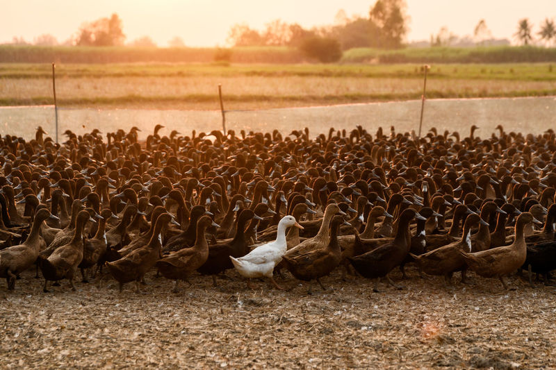 Flock of ducks husbandry in stall at sunset Agriculture Countryside Duck Duckling Nature Landscape Farm Land Sunset Rural Scene Flock Of Birds Herd Field Brown Poultry Rustic Stall Stable Animal Animal Themes Livestock Meat Warm Clothing Domestic Animals Outdoors