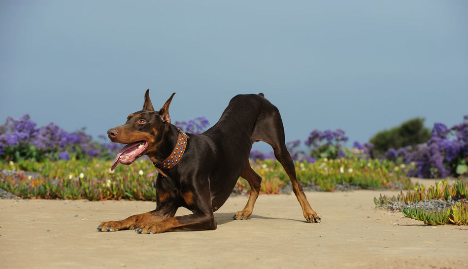 Red Doberman PInscher dog Dogs Red Animal Themes Beauty In Nature Clear Sky Cropped Ears Day Dog Domestic Animals Mammal Nature No People One Animal Outdoors Pets Purebred Sky Tan