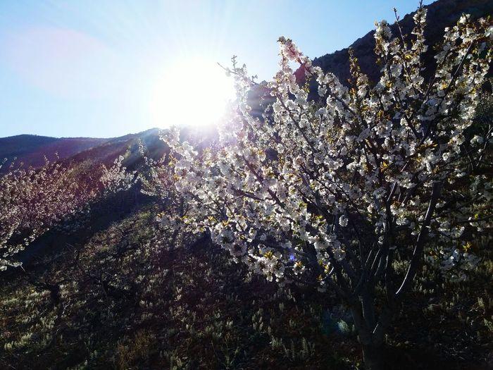 EyeEm Saimbeyli EyeEm Best Shots Beautiful Nature EyeEm Nature Lover Adana Turkey Cherry Flower Hadjin Sektör Yapım