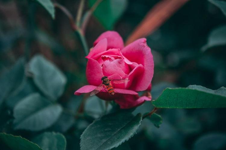 Red Rose Rose -