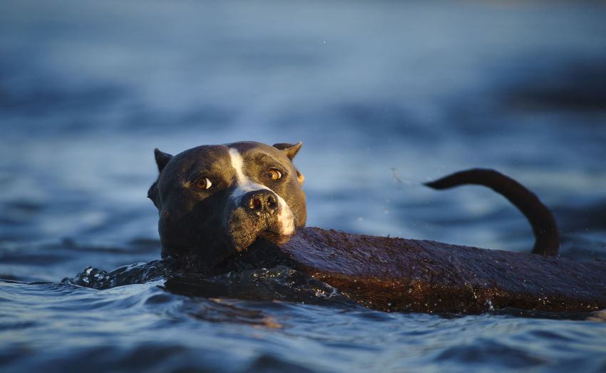 Portrait of american pit bull terrier carrying wood in mouth while swimming in lake