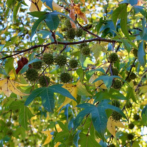 Happy Monday 🙋🏼 Sweet Gum Tree Low Angle Of View Branch Multi Colored Leaves Close Up Autumn Beauty In Nature Full Frame From My Point Of View