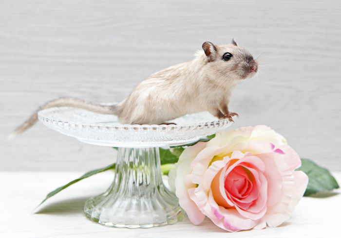 snoopy boy Animal Animal Themes Cheeky Curiosity Cute Pet Flower Flower Head Flowerpower Gerbil Gerbils Love Is In The Air Lovley  Mammal Mouse One Animal Paws Pets Rodent Rodents Rose Blossom Rose🌹 Snoopy Sweet Sweets Tail