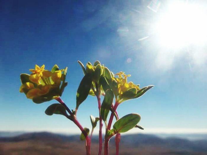 Desertflower Sunshine Yellow Flower Naturelovers EyeEm Nature Lover Noedit Beautiful Nature Getting Inspired Enjoying Nature Beautiful