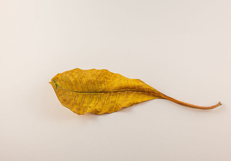 Close-up of yellow leaf on white background