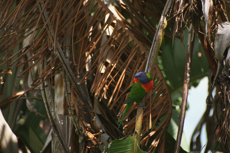 Lorikeet Australia Bird Photography Canon Photography Palm Tree Bird Vertebrate Animal Wildlife Plant Tree Animal Animals In The Wild Animal Themes Branch Perching Parrot No People Day Nature Rainbow Lorikeet Leaf Plant Part Outdoors Growth