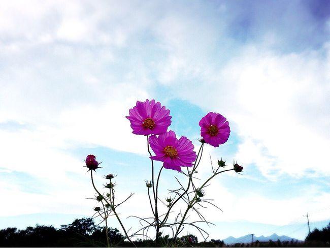 20171006 いつかのコスモス✨今夜の満月は見えそうにないかな…💧今週はあと2日…がんばろ~٩(ˊ࿀ˋ⋆)و おはよう おはようございます Good Morning Cosmos Flower コスモス 秋桜 Cosmos Flower