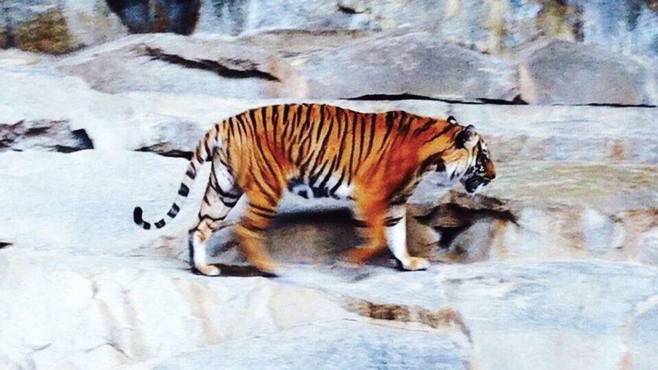 Berlin SNAPSHOTS Tiger Zoo Animals  Zoo ZOO-PHOTO Animals