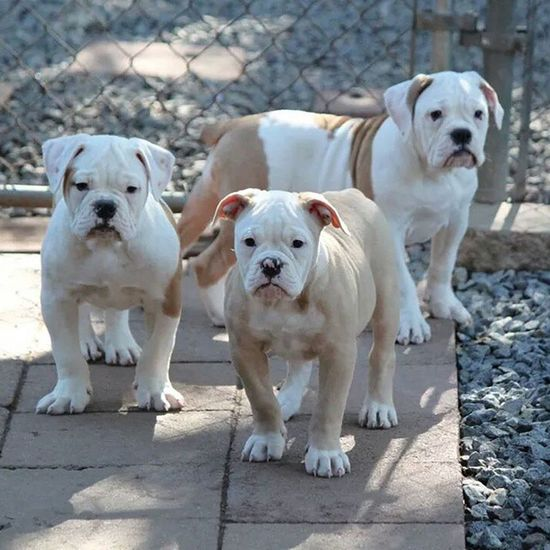 Last of the Fancy and Beef pups, 1 boy (on left) and 2 girls (on right.) Pups are 10 weeks old, updated on shots, fully de-wormed, vet checked, socialized and ready for loving homes. Please check our website for info, pricing, availability and all we include. Oneofakindbulldogs Bulldogs Bulldog Oldeenglishbulldogges oldeenglishbulldogge oldenglishbulldogs oldenglishbulldog premierbreeder oeb oebpuppies puppiesforsale cute adorable bulldogpuppies toocute victorianbulldogs bullyinstagram bullyinstafeature SoCal californiadreamin SanDiego SD lovemylife dogoftheday follow4follow