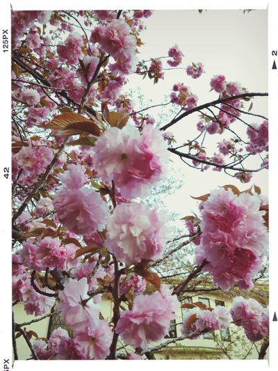 八重咲に。 Flowers Cherry Blossoms