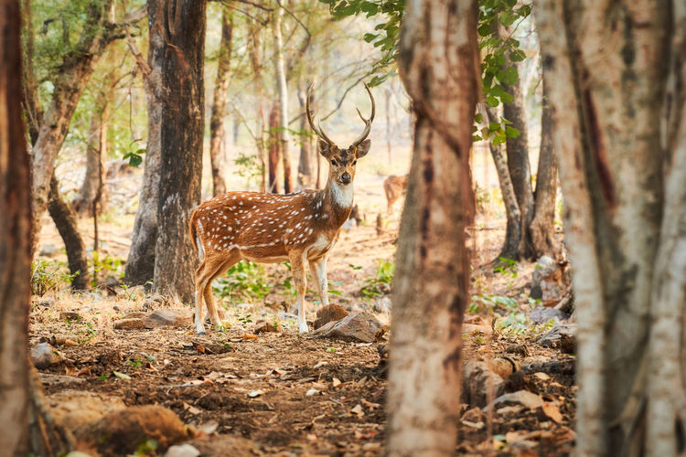 Deer looking to camera Deer Tree Animal Animal Themes Forest One Animal Mammal Land Tree Trunk Animal Wildlife Trunk Plant Standing Animals In The Wild No People Nature Day Full Length WoodLand Vertebrate Outdoors Herbivorous