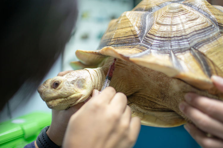 Cropped Hands Of Veterinarian Examining Tortoise In Hospital
